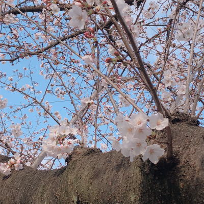 ブログ0329桜
