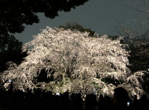 ブログ0330枝垂桜