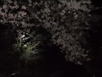 夜桜0150