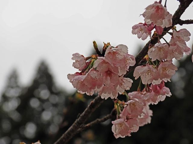 190321桜1