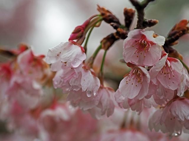 190321桜2