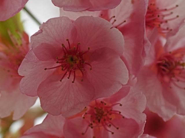 190321桜6