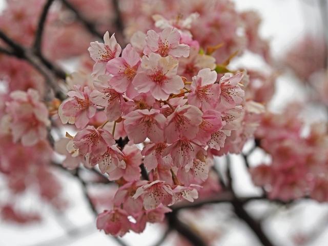 190321桜8