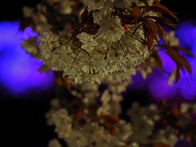 190405夜桜会7