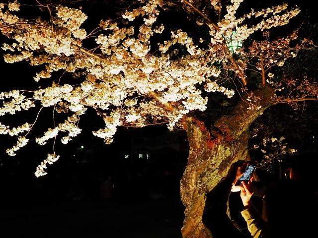 190405夜桜会9