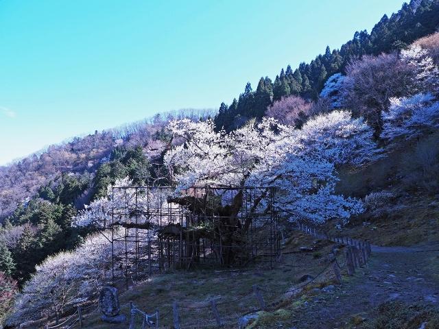 190413樽見大桜1