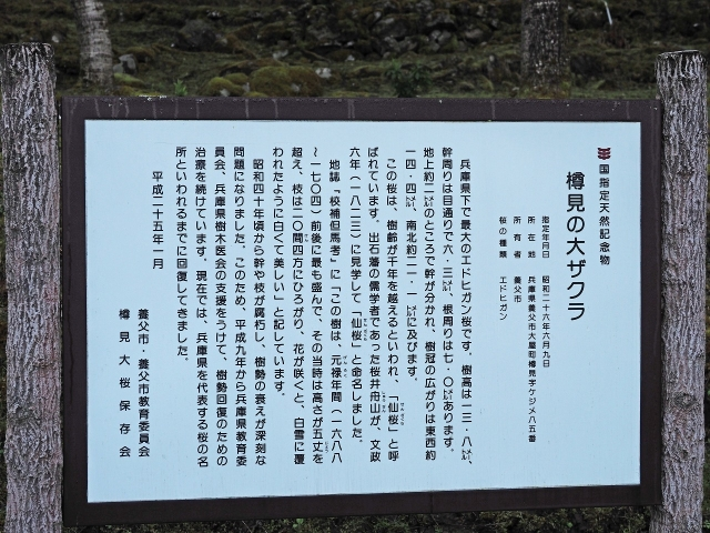 190413樽見大桜4
