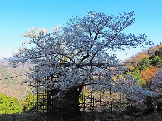 190413樽見大桜3