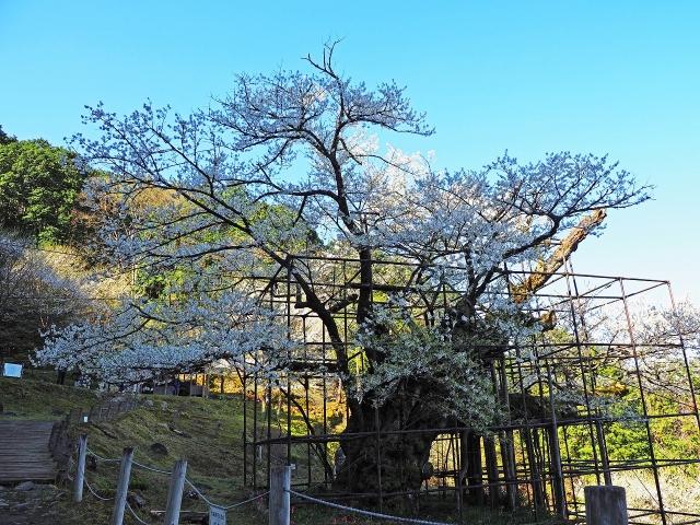 190413樽見大桜5