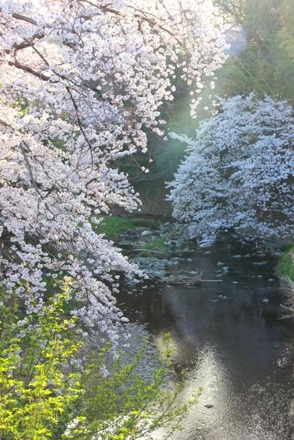 2019004_桜