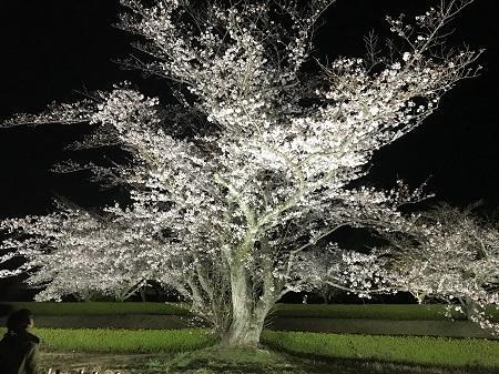20190403夜桜06