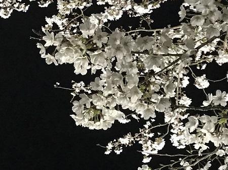 20190403夜桜04