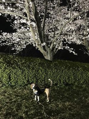 20190403夜桜03