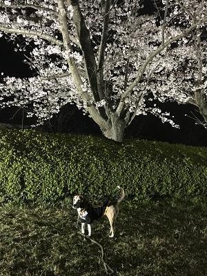 20190403夜桜02
