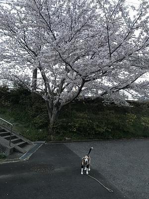 20190406桜04