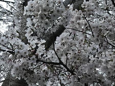 20190406桜03