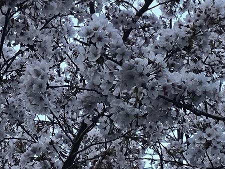 20190406桜02