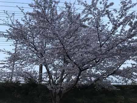 20190406桜01