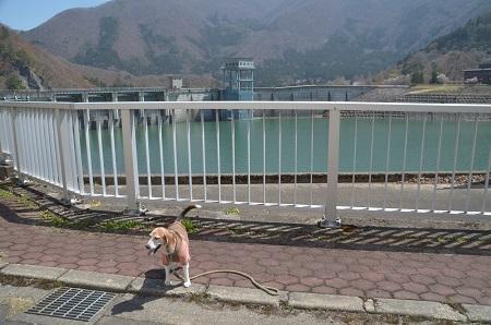 20190423大川ダムの桜01