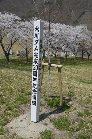 20190423大川ダムの桜12