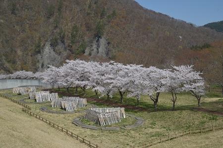 20190423大川ダムの桜11