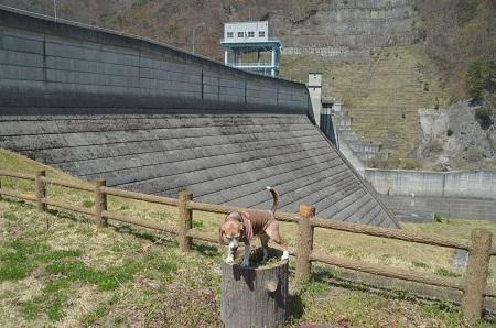 20190423大川ダムの桜09
