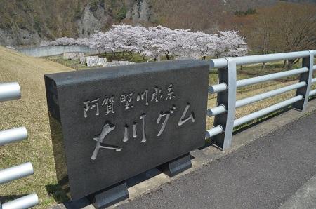 20190423大川ダムの桜08