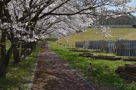 20190423大川ダムの桜18