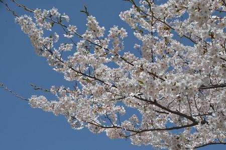 20190423大川ダムの桜16
