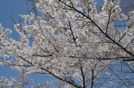20190423大川ダムの桜15