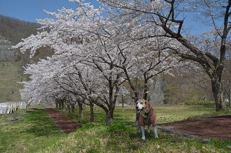 20190423大川ダムの桜13