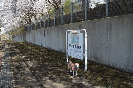 20190423芦ノ牧温泉南駅の桜04