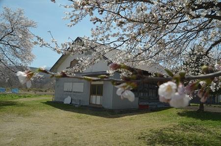 20190423豊成分校の桜05