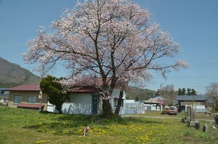 20190423豊成分校の桜02