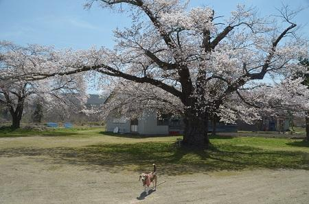 20190423豊成分校の桜09