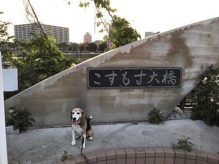 20190606コスモス大橋03