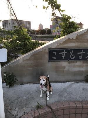 20190606コスモス大橋01