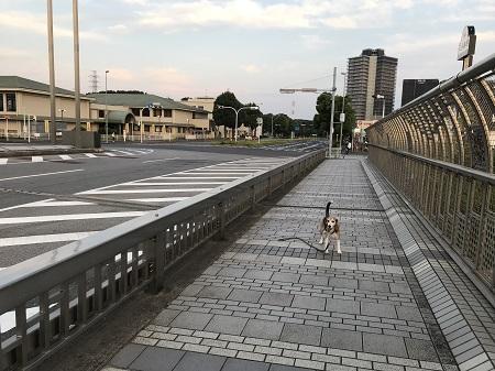 20190606コスモス大橋12