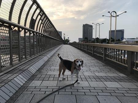 20190606コスモス大橋09