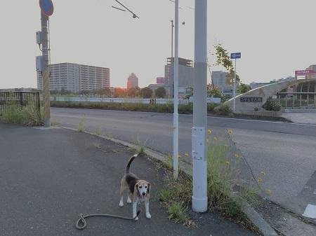 20190606コスモス大橋08