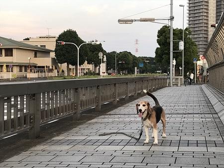 20190606コスモス大橋13