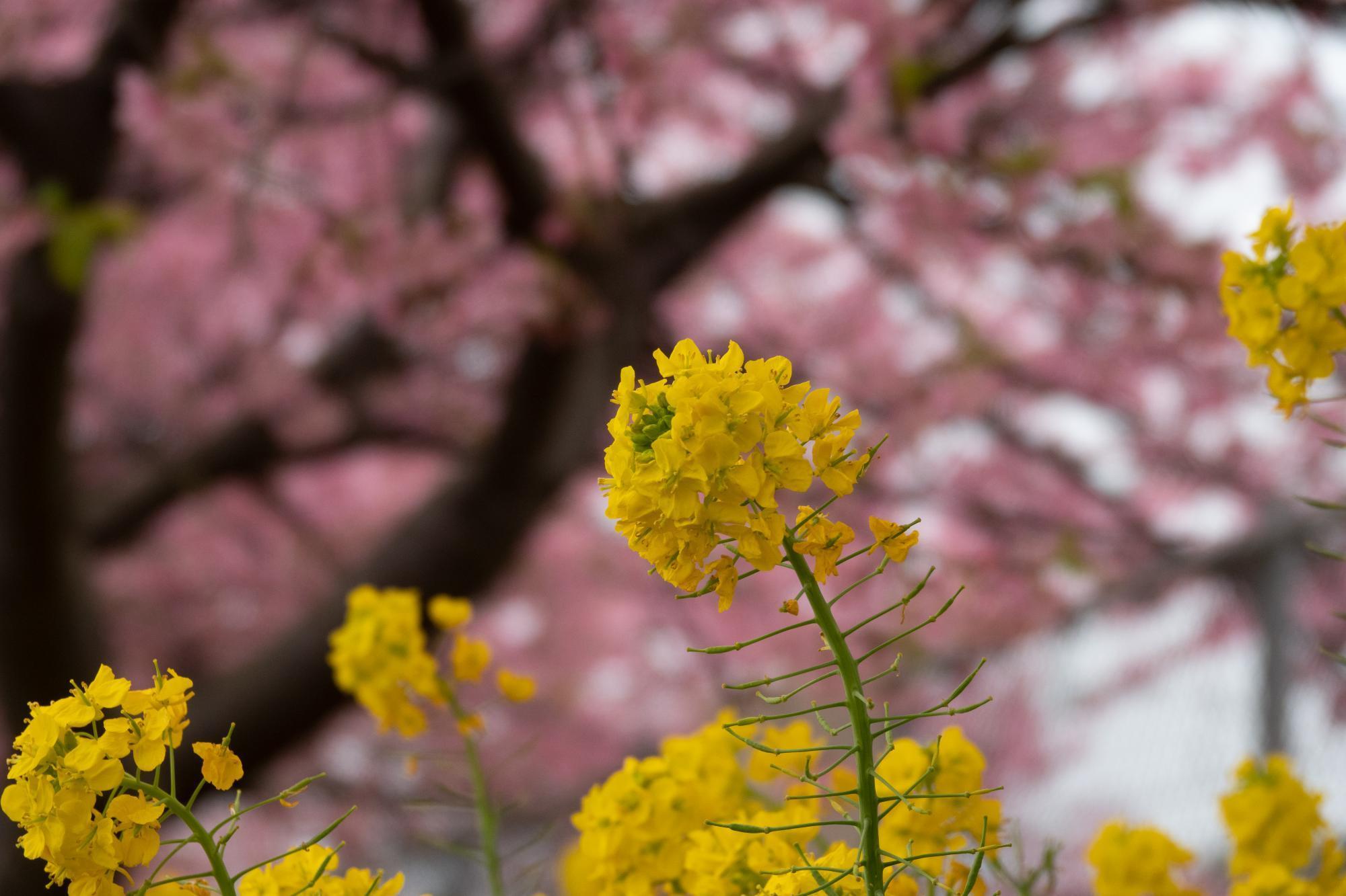 20190226-桜祭り1