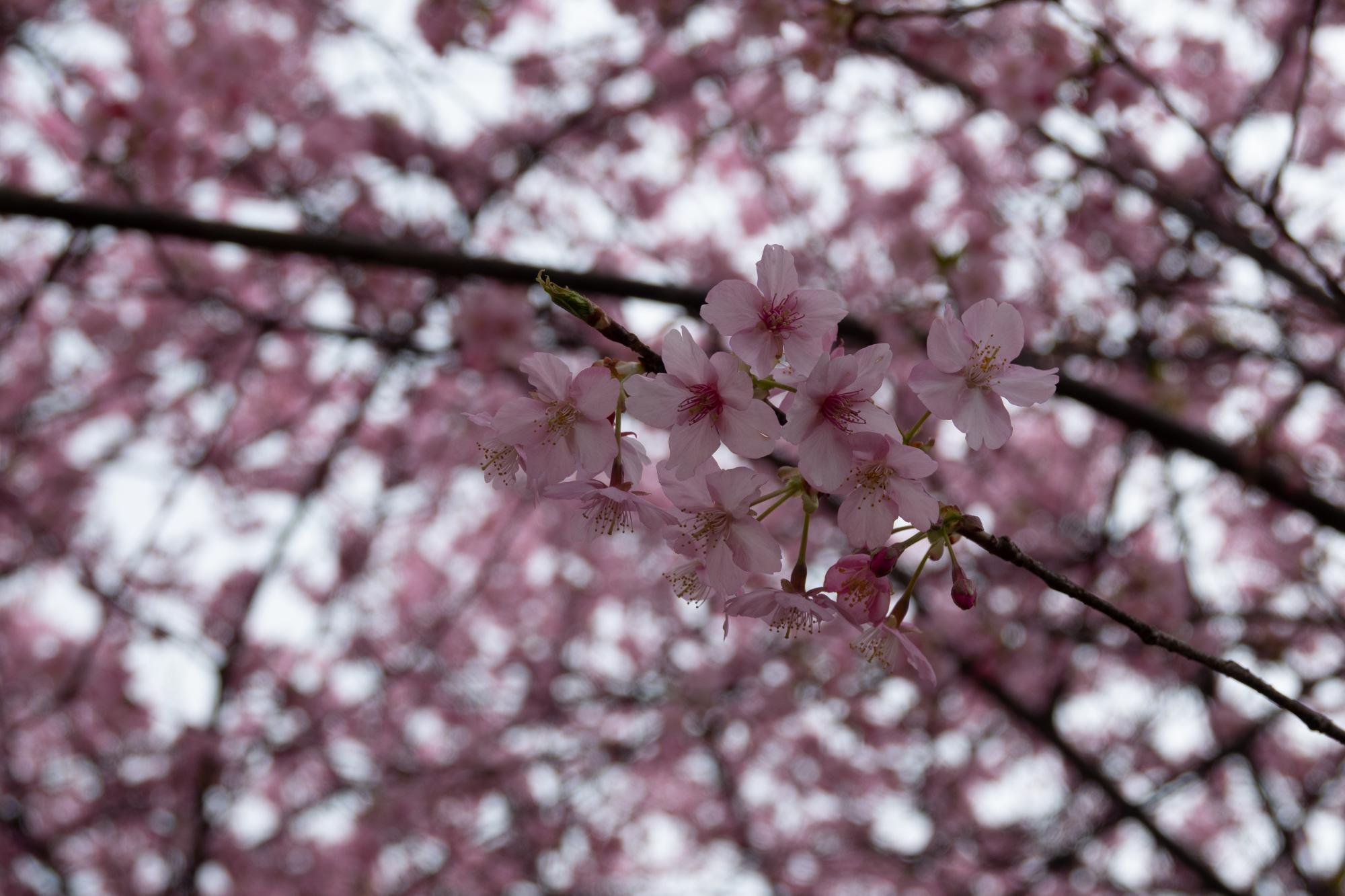 20190226-桜祭り3