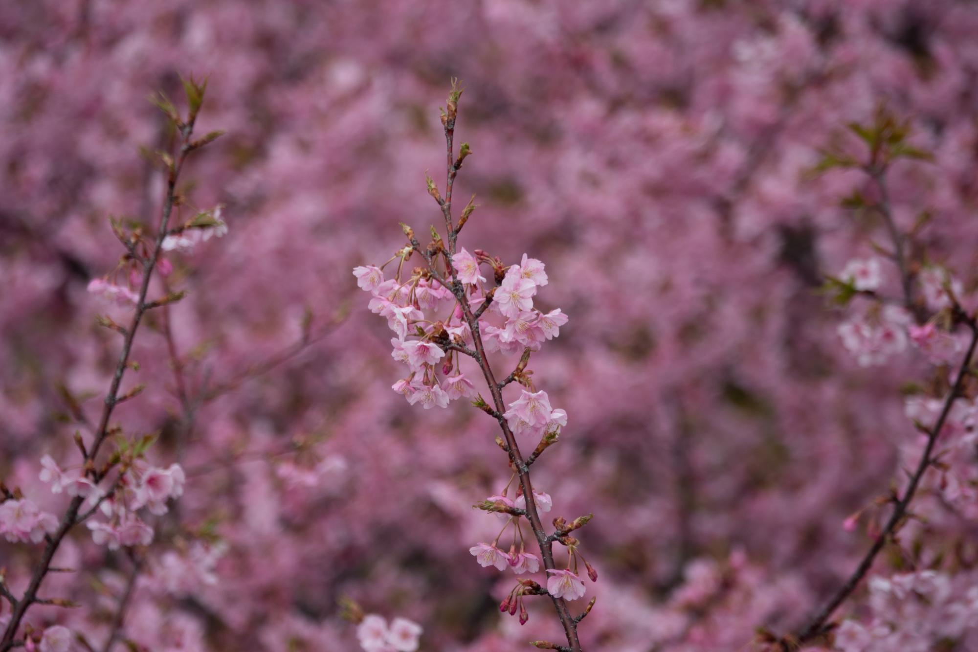 20190226-桜祭り4