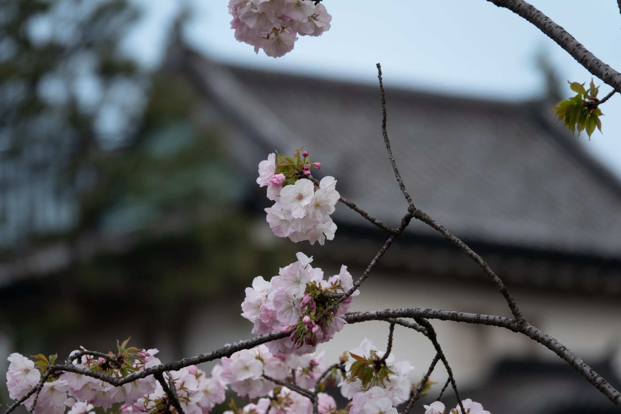 20190402-桜乾