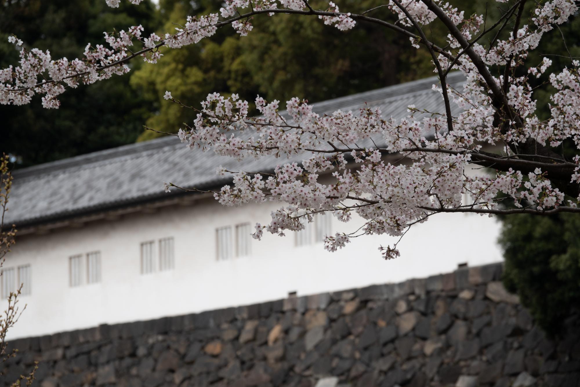20190402-桜乾3