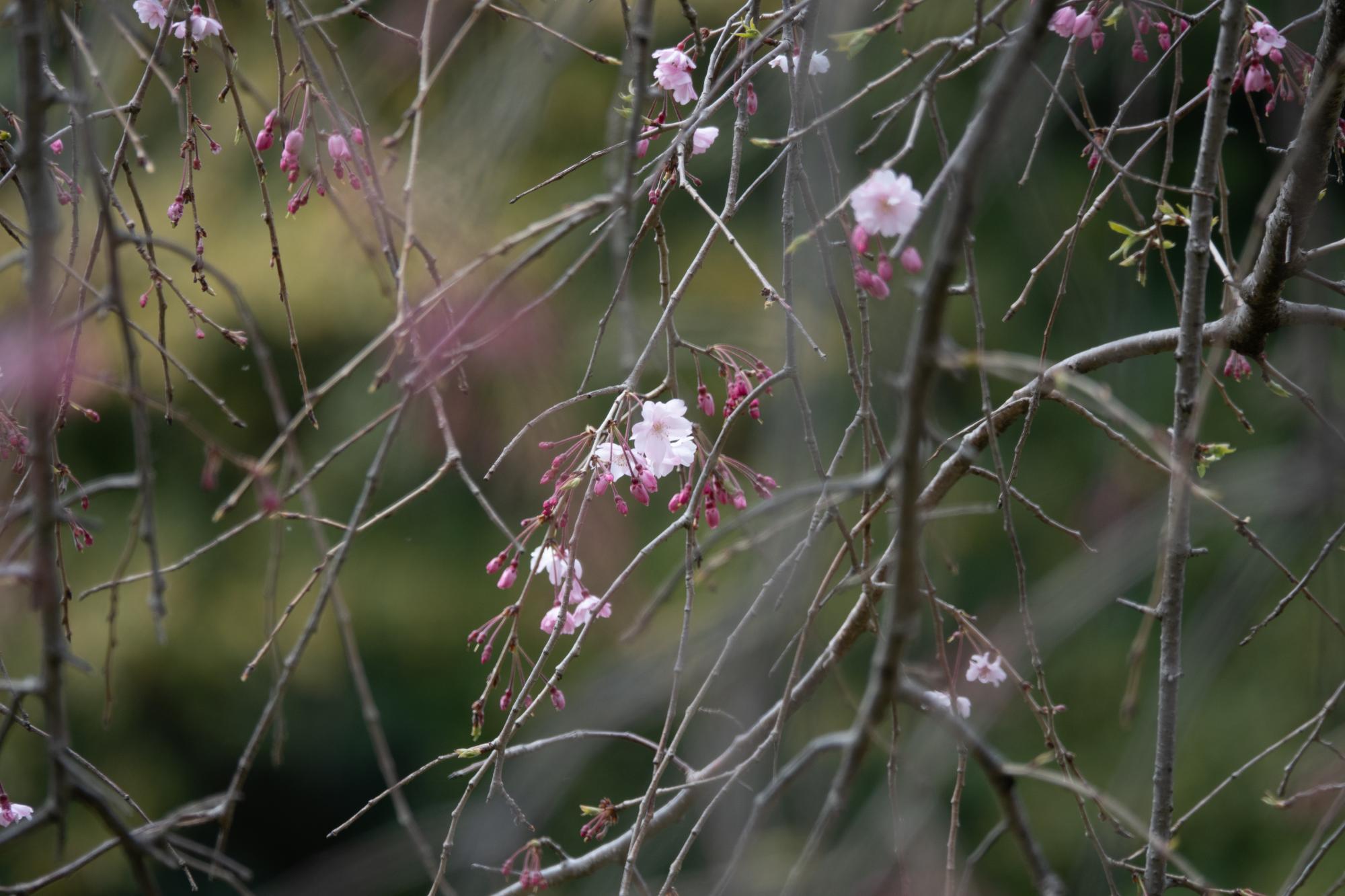20190402-桜乾4