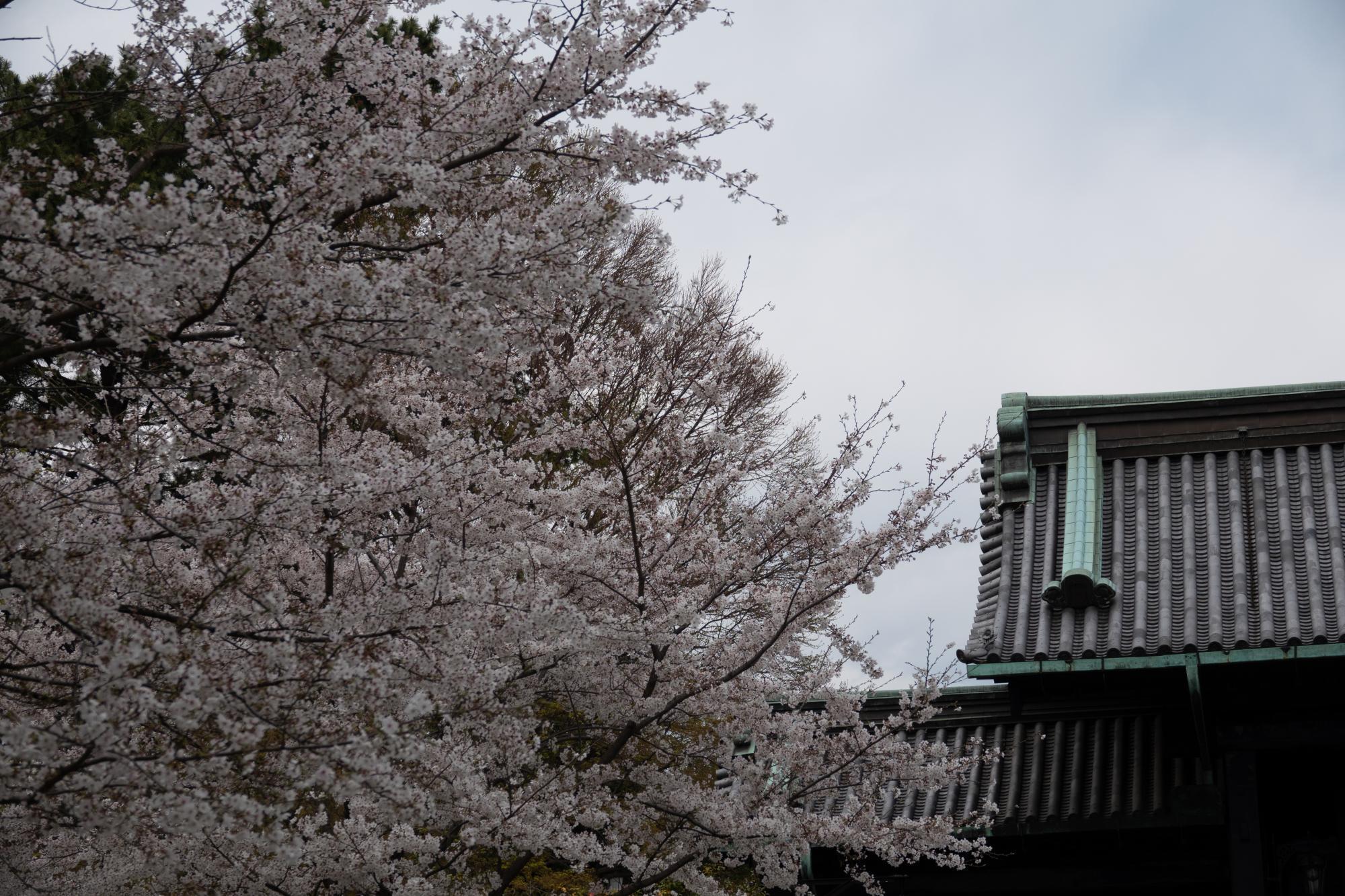20190402-桜乾5