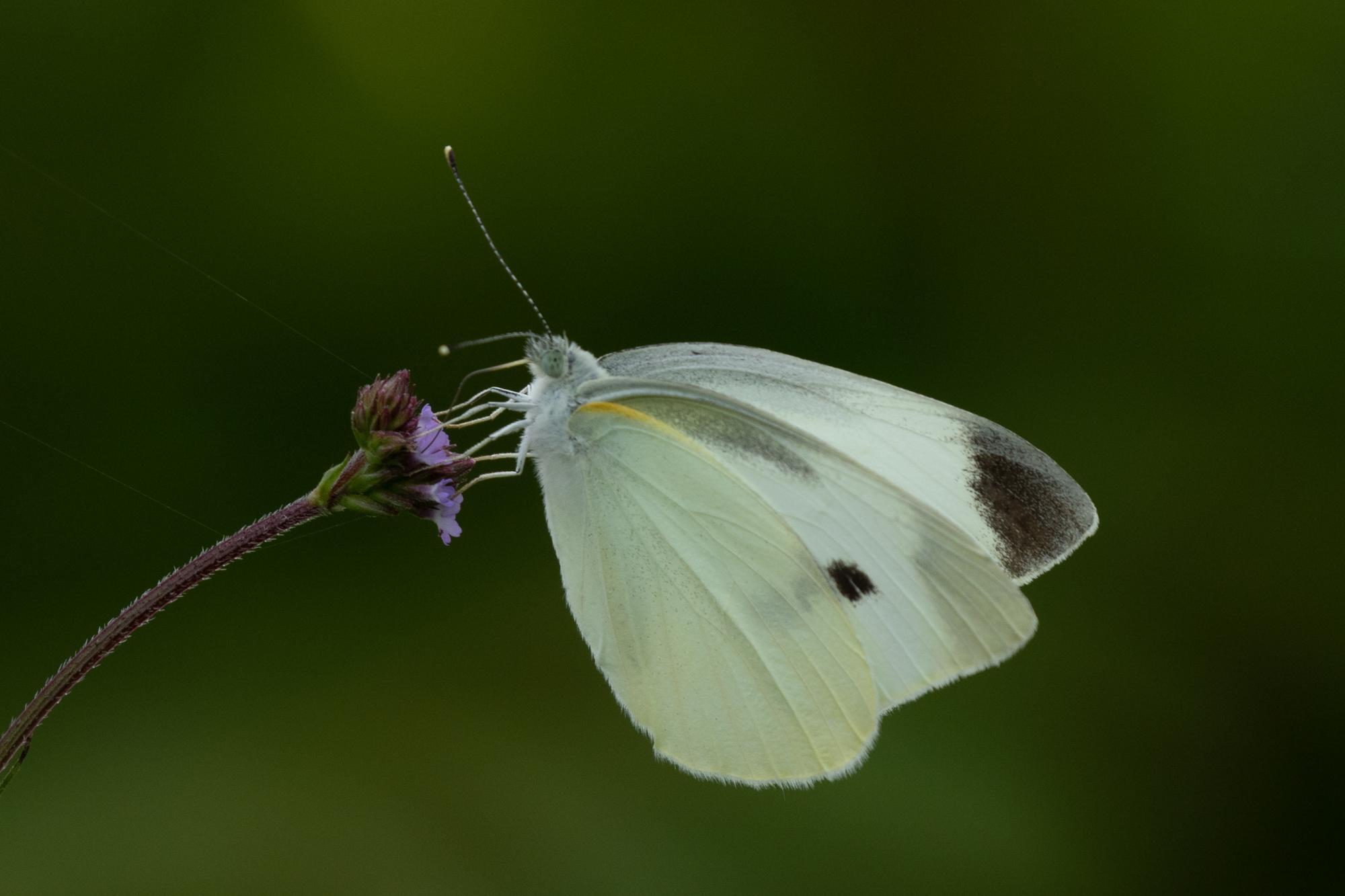 20190604-蝶々1