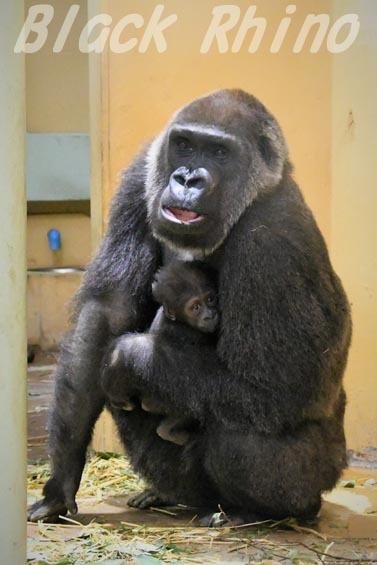 ニシローランドゴリラ ゲンキ05 京都市動物園